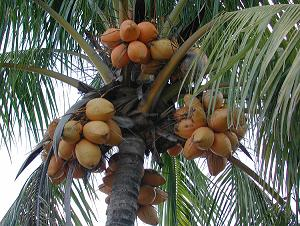 what is the importance of coconut in n culture  these myriad uses the coconut participates actively in every aspect of s cultural life
