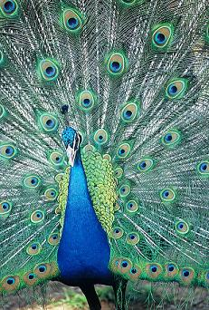 Dance of the Peacocks