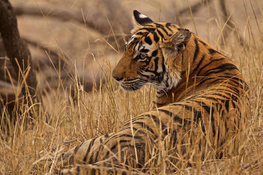 Tigers of Ranthambore